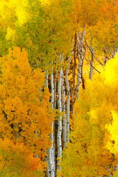 ✮ Birch Tree Autumn - Crested Butte, Colorado (these are Aspens...quaking aspens)