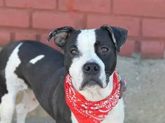 TO BE DESTROYED - 10/27/14 Brooklyn Center -P  My name is BLUE. My Animal ID # is A1017608. I am a female black and white pit bull mix. The shelter thinks I am about 7 YEARS old.  I came in the shelter as a OWNER SUR on 10/15/2014 from NY 11207, owner surrender reason stated was HOME SIZE. https://m.facebook.com/photo.php?fbid=890618497617697&id=152876678058553&set=a.611290788883804.1073741851.152876678058553&source=46