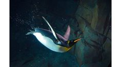 """""""In Flight"""": The emperor penguin dives into the water as if in flight. (Submitted by Anthony Timmer)"""