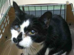 Super Urgent Brooklyn - WOODLEY - #A1100807 - 10 YR OLD FRIENDLY AND SOCIABLE KITTY HAS A POSSIBLE URI - ALSO INFECTED WOUNDS ON ALL PAWS - NEEDS MEDICAL AND RESCUE! - FEMALE WHITE BLACK DSH MIX, STRAY - Intake 12/31/16 Due Out 12/03/16 -  - SOCIABLE, ALLOWED ALL HANDLING