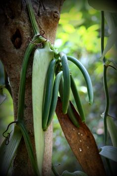 Vanilla! This is what gets you vanilla ice-cream, vanilla essence and vanilla scents! This is pollinated by humans using a bamboo tree! Natural pollination can only take place with a bird found only in Mexico! #Vanilla #India #Chekin