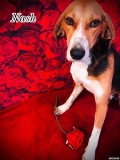 Meet Nash, an adopted Hound Mix Dog, from The Humane Society of North Myrtle Beach Inc. in North Myrtle Beach, SC on Petfinder. Learn more about Nash today. North Myrtle Beach, Helping The Homeless, Animal Welfare, Humane Society, Pet Care, Animal Rescue, Pet Adoption, The Fosters, Babies