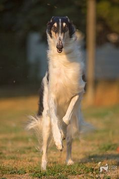 Borzoi running Borzoi Dog, Whippets, Animals And Pets, Cute Animals, Russian Wolfhound, Group Of Dogs, Dog Insurance, Puppies And Kitties, Dog Fighting