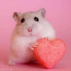 This is lovely little hamster who gives away his love further! Teddy Hamster, Hamster Pics, Super Cute Animals, Cute Little Animals, Cute Funny Animals, Baby Animals Pictures, Animals And Pets, Funny Hamsters, Robo Dwarf Hamsters