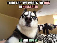 Husky Funny, Funny Dogs, Funny Memes, Funny Pix, Funny Sayings, Husky Dog, Husky Meme, Funny Videos, Funny Stuff