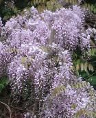 Wisteria sinensis 'Black Dragon'