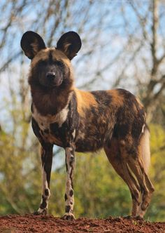 Painted Hunting Dog - endangered species a species I have learned about and find amazing African Hunting Dog, African Wild Dog, Hunting Dogs, Coyotes, Dog Games, Wild Dogs, African Animals, Pet Birds, Mammals