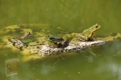 Green Frog, Hd Photos, Reptiles, Sea, Adventure, Frogs, Animals, Animales, Animaux