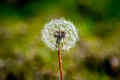 Dandelion, blur, flowers wallpaper