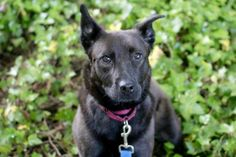 Meet Sasha, a sweet and tender 1-year-old Australian Kelpie mix! We're looking for a home who is ready for lots of play time and snuggles. Sasha can be a little reserved at first, but once she gets to know you, she'll be bringing you her favorite tennis ball and napping on the couch with you in no time! Sasha has spent some time in foster and they report that she is extremely interested in learning new tricks, is very loving, and good friends with her foster siblings - a cat and a dog! Sasha…