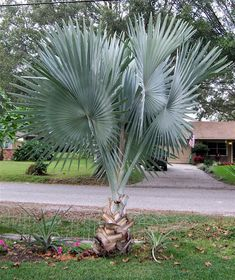 All Types Of Palm Trees Purchase Coconuts They Will Grow If You Plant Them Properly