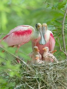 Roseate Spoonbill Family Loved seeing these beautiful birds near Corpus Christi Pretty Birds, Love Birds, Beautiful Birds, Animals Beautiful, Simply Beautiful, Beautiful Family, Beautiful World, Beautiful Pictures, Exotic Birds