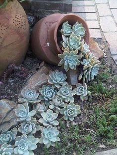 I love this idea for growing succulents.