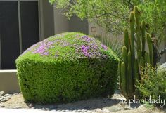 How NOT to #prune #flowering #shrubs! #nomoregumdrops