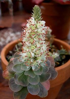 Euphorbia mammillaria variegata