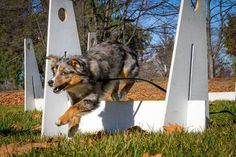 An introduction to Flyball: Training Tips Tuesday