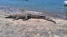 ¿Qué hacer con los cocodrilos en Costa Rica?