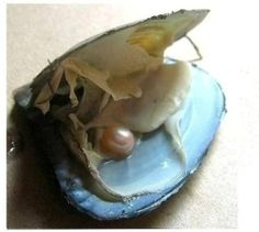 Wish Love Pearl Oyster with Pearl Inside Vacuum Packed | eBay