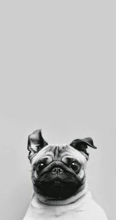 Pug-wallpaper-iphone.jpg (680×1283)