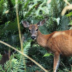 johannavos.com | Beautiful BC: A Tour of Vancouver Island Vancouver Island, Travel Guides, Kangaroo, Giraffe, Tours, Animals, Beautiful, Baby Bjorn, Felt Giraffe