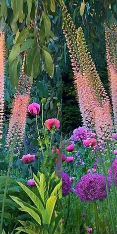 Foxtail Lilies (Eremurus) 'Vivace' with Allium giganteum 'Globemaster' and Poppies ( Papaver rhoeas)