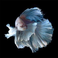 なんて優雅なんだ・・・一瞬の「時を奪われる」闘魚(ベタ)の美しい姿たち | DDN JAPAN