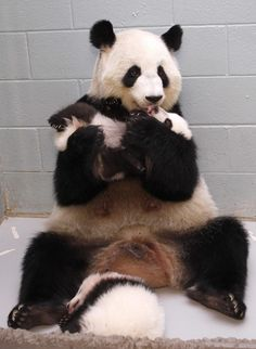 I'd be obsessed with their tiny panda faces as well.   This Panda Mom Is Adorably Obsessed With Her Babies