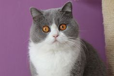 British Shorthair bicolor