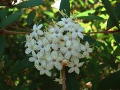 Woombye bush Phebalium woombye One of the most beautiful wallum plants, this shrub is covered with masses of white to pale pink flowers in spring. The dark green foliage has a silvery undersurface. Hardy compact shrub that grows to 2m in well-drained sunny to partly shaded position