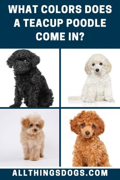 There are a variety of Teacup Poodle colors including white, grey, black, red, brindle, silver and apricot. Some have spots of various other colors in their coats, but breeders typically prefer solid coat colors. Read on to learn more about their coat.  #teacuppoodlecolors #teacuppoodlecoat #teacuppoodle Teacup Poodle Puppies, Tea Cup Poodle, Brown Dog, White Dogs, Tea Cups, Teddy Bear, Coats, Grey, Silver