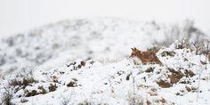 Rode vos (Vulpus vulpus) in sneeuwlandschap