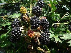 Als Heilpflanze ist die Brombeere schon lange bekannt.  -Brombeerblätter enthalten Gerbstoffe.  Dadurch wird die Droge als leichtes Durchfallmittel  und zum Gurgeln bei entzündeten Schleimhäuten eingesetzt.