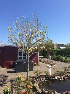 Magnolia træ...på vej til at springe ud