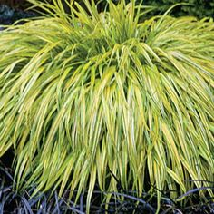 1000 images about ornamental grasses on pinterest for Low growing ornamental grasses for sun