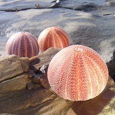 Cornish Sea Urchin - buy the sea