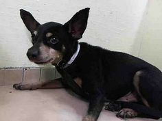 TO BE DESTROYED 11/22/13 Manhattan Center   My name is CHIE. My Animal ID # is A0985233. I am a male black and tan chihuahua sh mix. The shelter thinks I am about 10 YEARS old.  I came in the shelter as a STRAY on 11/18/2013 from NY 10454, owner surrender reason stated was STRAY.  https://www.facebook.com/photo.php?fbid=709562025723346&set=a.611290788883804.1073741851.152876678058553&type=3&theater