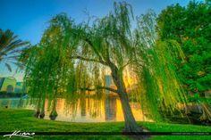 Orlando City Downtown Lake Eola Park Wispering Willow Tree