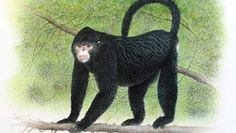 WWF ontdekt nieuw zoogdier: de niezende aap - Economie - TROUW