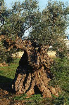 Alliste. Olivo della Linza - Olive - Wikipedia, the free encyclopedia