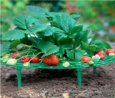 You harvest the clean ripening fruit,the strawberry supports allow air to circulate,this promotes even ripening and minimizes rot. Strawberry supports keep my berries off the ground so bugs can't get to them,let the berries grow well. Strawberry Garden, Strawberry Plants, Strawberry Patch, Garden Supplies, Garden Tools, Plant Cages, Vegetable Rack, Cheap Plants, Fruit Stands