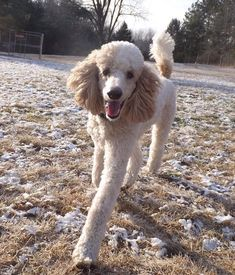 Poodle The Adorable Dog - The Pooch Online Best Dog Breeds, Best Dogs, Poodle Cuts, Puppy Cut, Dog Pictures, Dog Photos, Cute Dogs, Awesome Dogs, Pitbull Terrier