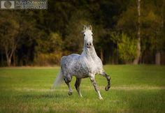Dapple grey Orlov Trotter