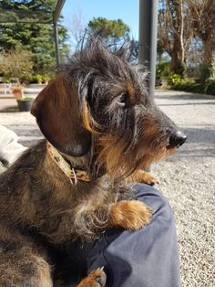 Scottish Terrier, Scruffy Dogs, Wire Haired Dachshund, Dachshund Love, Puppies, Dachshunds, Terriers, Dog Breeds, Cute
