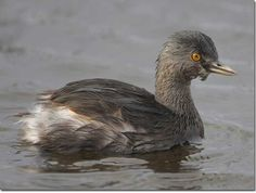 Least Grebe The body shape and behavior is clearly grebe-like. Might be confused with the Pied-billed Grebe, which is larger and has a different shape to the bill. Photograph © Greg Lavaty.