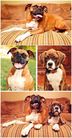 Dog Photographer  Boxer Dogs