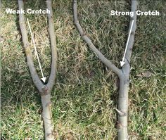 Fruit Tree Pruning at Its Best: Strong Branch Angle