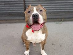 TO BE DESTROYED 8/16/14 Brooklyn Center -P My name is JUNIOR. My Animal ID # is A1009682. I am a male br brindle and white pit bull mix. The shelter thinks I am about 3 YEARS old. I came in the shelter as a STRAY on 08/07/2014 from NY 11692, owner surrender reason stated was ABANDON. I came in with Group/Litter #K14-189243.