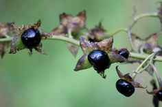 """Deadly nightshade -- not for human consumption. It used to grow by my bus stop. I used to wait there at 6:30 am, staring at this shrub, thinking, """"If I eat this, will I get out of school?"""" Such temptation."""