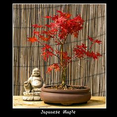 Japanese Maple Bonsai Tree. I want one!