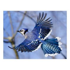 Blue Jay in Flight Placemat - Surprise the party with these stunning placemats. Let this vibrant blue jay descend onto your kitchen table for a new conversation piece. Blue Jay Tattoo, Songbird Tattoo, Tattoo Bird, Blue Jay Bird, Blue Poster, Bird Pictures, Nature Animals, Bird Art, Bird Feathers